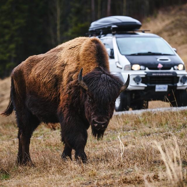 Bison on the Alaska Highway in Northern BC