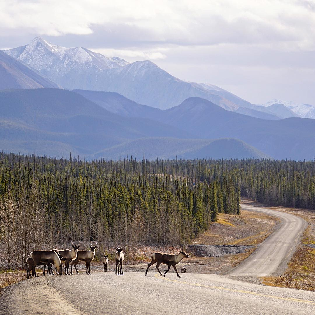 Wildlife along the Alaska Highway in Northern BC