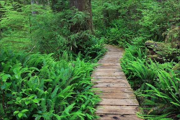 A wooden walkway winds through an area of dense vegetation.