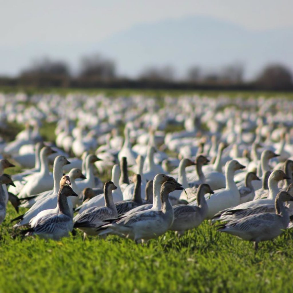 A colony of snow geese sit on a lush green lawn.