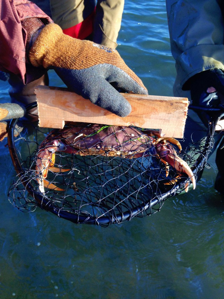 A crab in a small net is being measured.
