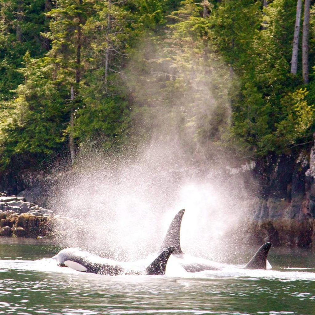 Two breaching orca whales.