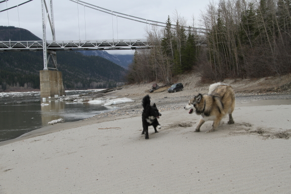 Two dogs play in the sand, in front of a suspension bridge.