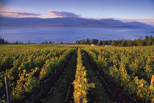 CedarCreek vineyard overlooks Okanagan Lake.