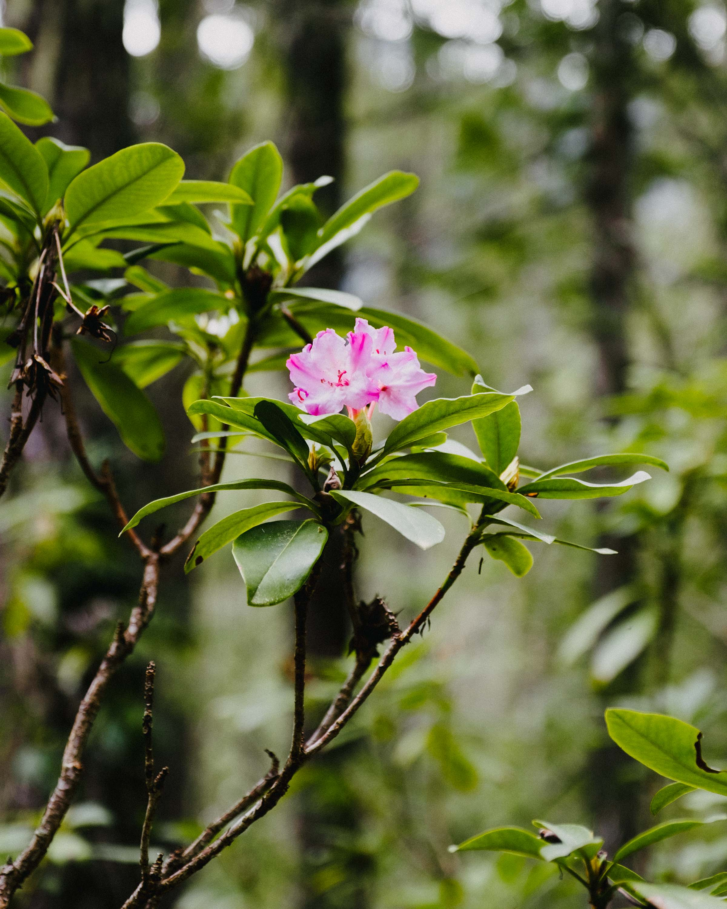 Pacific Rhododendron in Skagit Valley Provincial Park