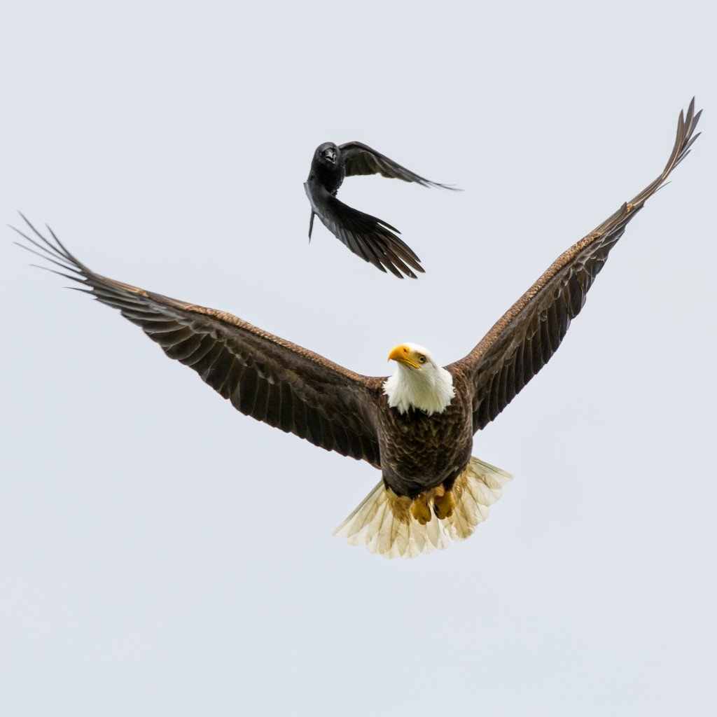 A crow chasing a local Tofino bald eagle near Dead Man's Island by @jeremykoreski