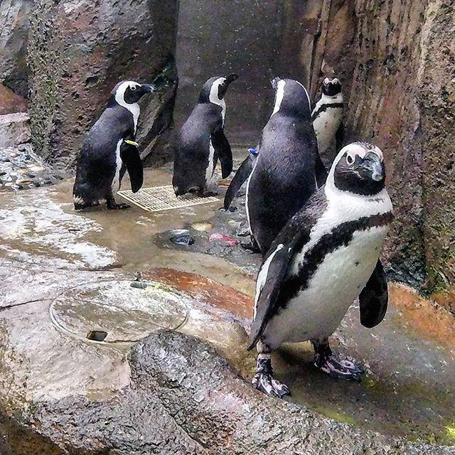 Penguins at the Vancouver Aquarium.