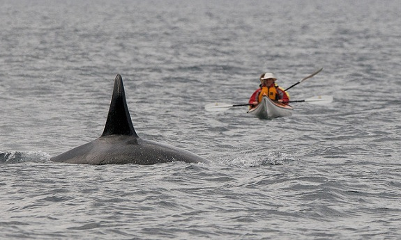 Two kayakers paddle towards a breaching humpback whale.