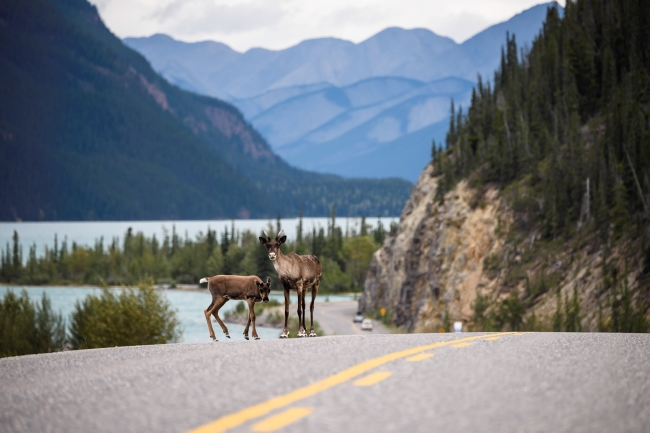 A Caribou cow with her calf search for mineral salts along the Alaska Highway at Muncho Lake, in the Northern Rockies of British Columbia.