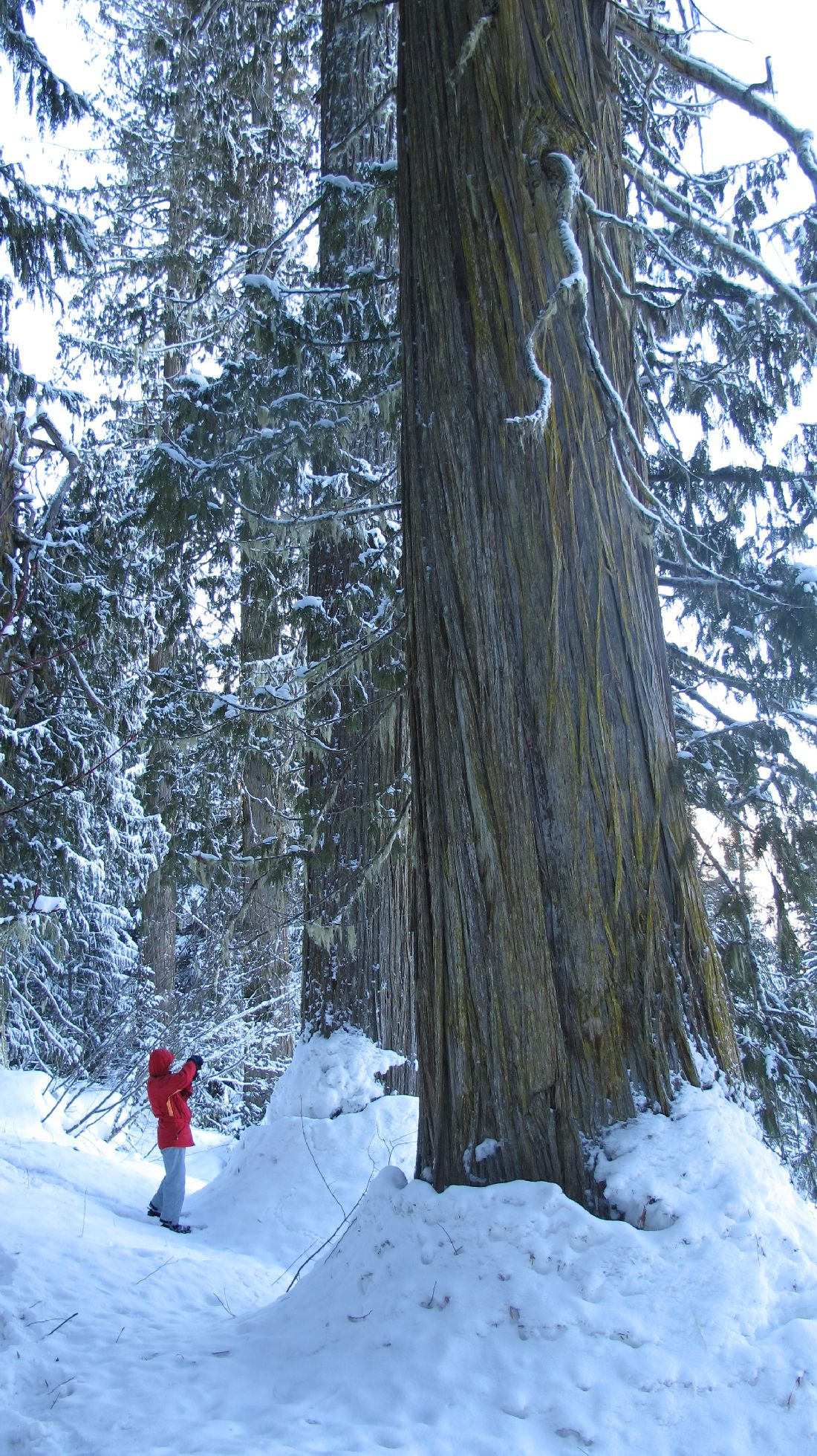 A person standing next to giant trees