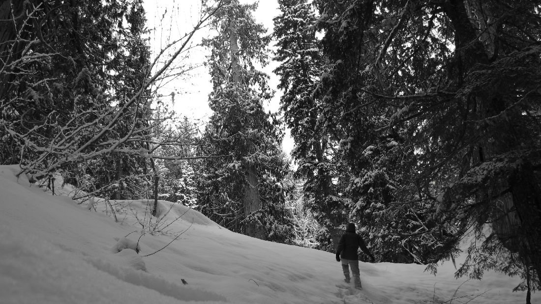 Snowshoeing in the Ancient Forest. Photo: Carolyn Ibis