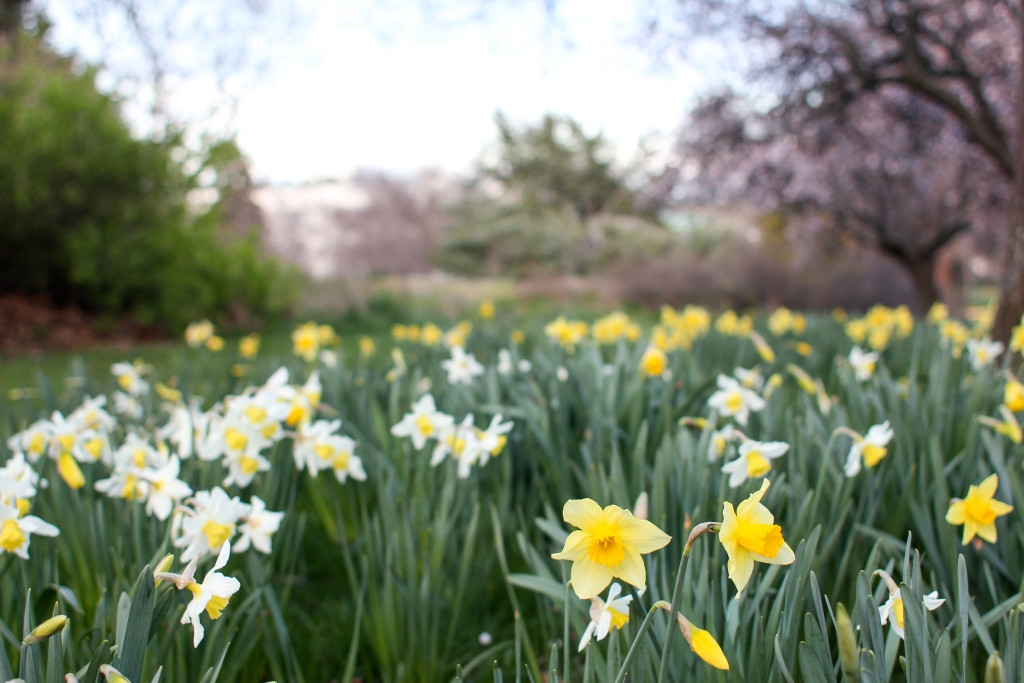 Daffodils in Beacon Hill Park, Victoria BC