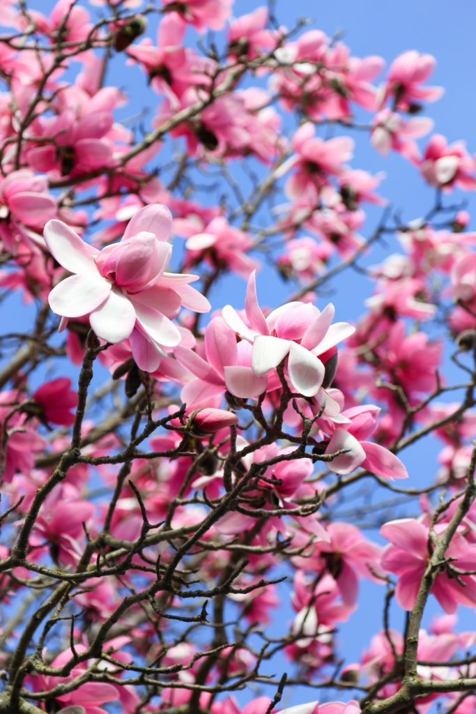 Magnolia tree in Victoria, BC