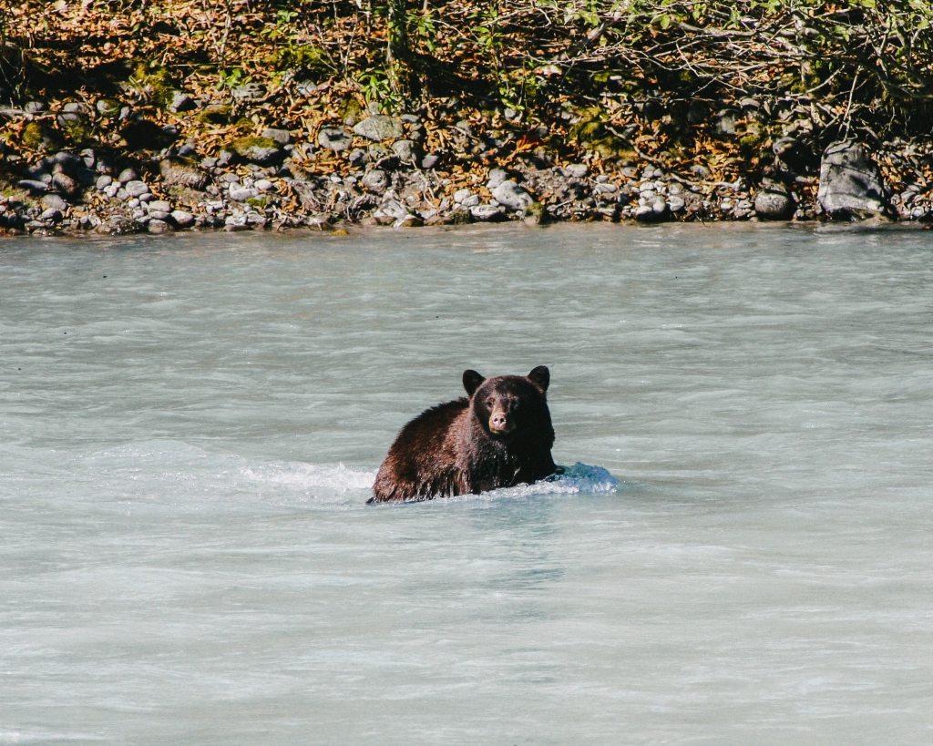 Rafting past bears in the river