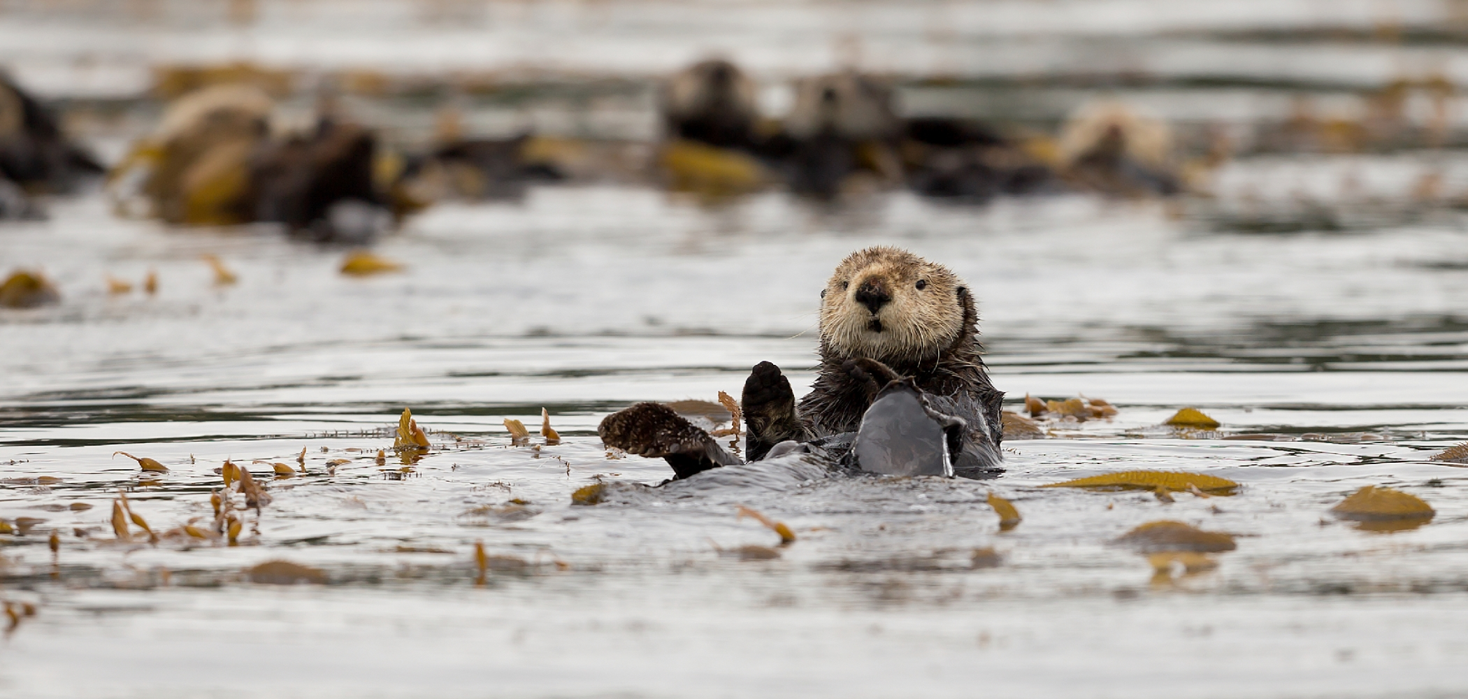 Sea Otter near Spring Island by Kyuquot Sound