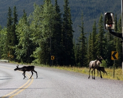 Wildlife along the Alaska highway