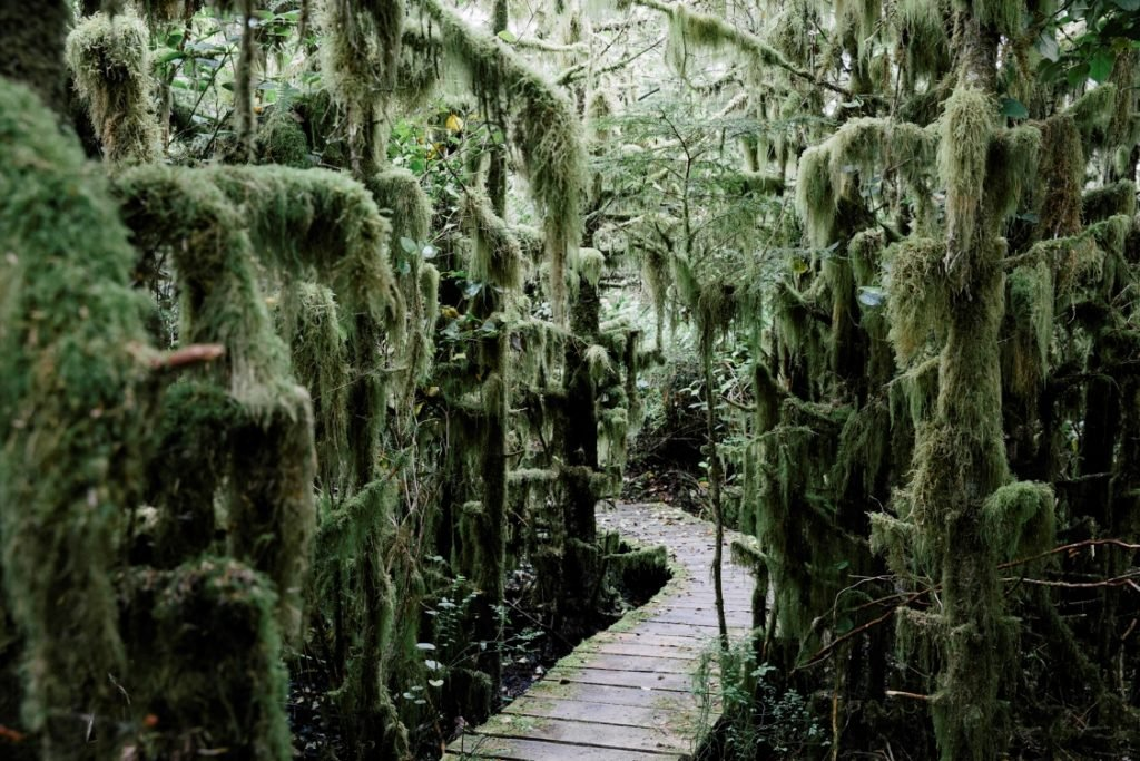 A boardwalk winding into a moss covered forest.