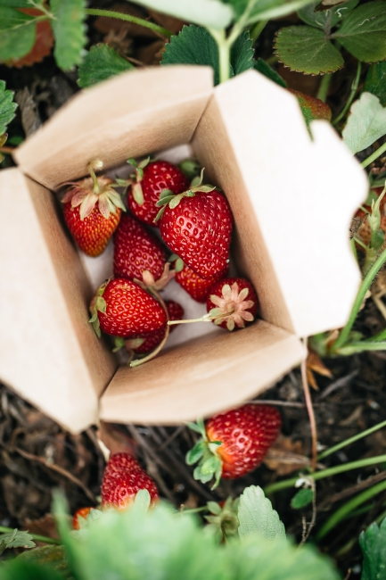 A cardboard box of freshly-picked strawberries.