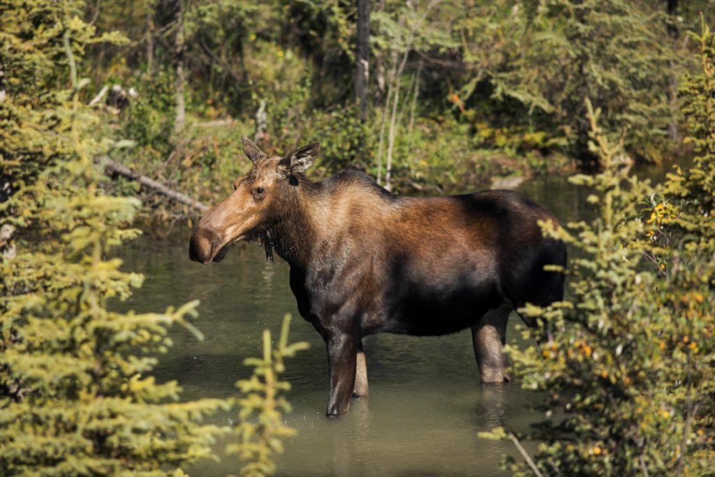 A moose on the Alaska Highway in Stone Mountain Provincial Park.