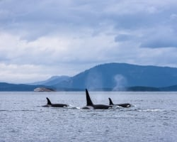 Three Orcas with a Mountain backdrop Credit Destination BC/Reuben Krabbe