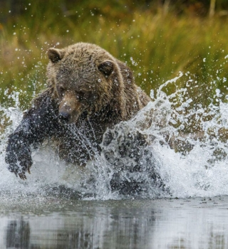 A grizzly bear running in the water in British Columbia