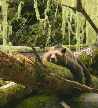 A grizzly bear laying on a tree stump in British Columbia