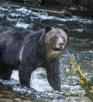 Brown bear in a riverbank