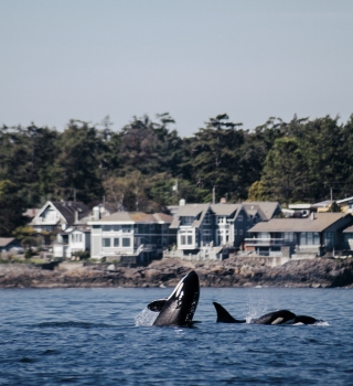 A pod of Orca whales swimming off the shoreline in Victoria.