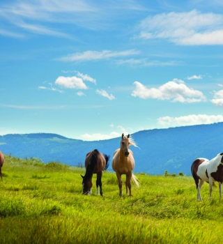 Horses in a beautiful green field with blue mountains in the background