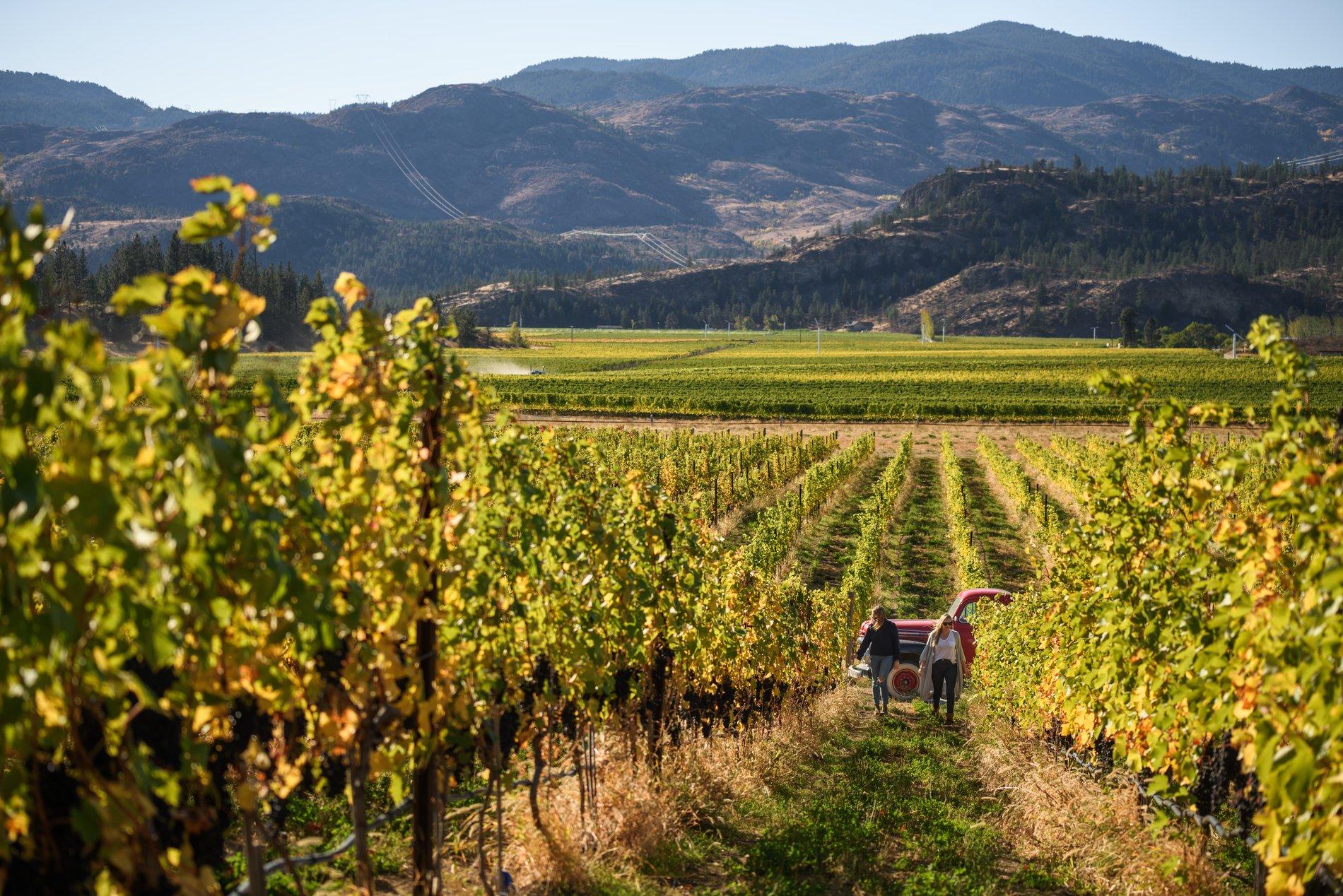 Vineyard at Covert Farm   Andrew Strain