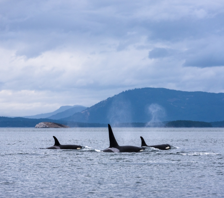 Three orcas spotted along Southern Vancouver Island | Reuben Krabbe