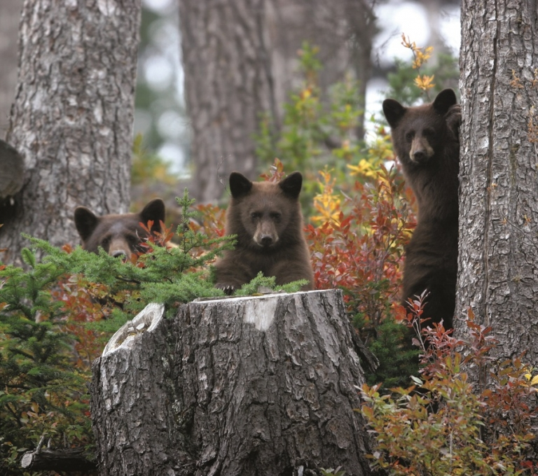 Black bear cubs | Tourism Whistler/Michael Allen