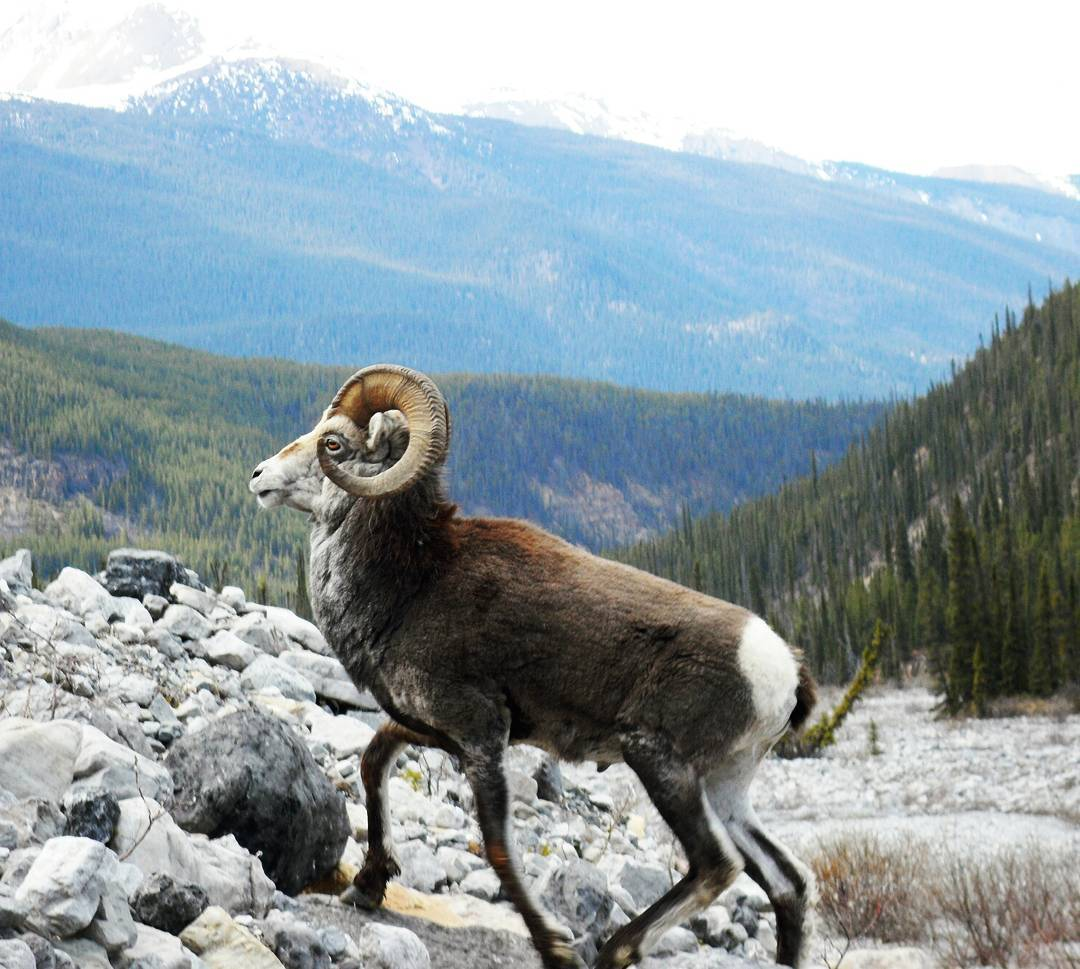 Bighorn sheep near the Alaska Highway in Northern BC.