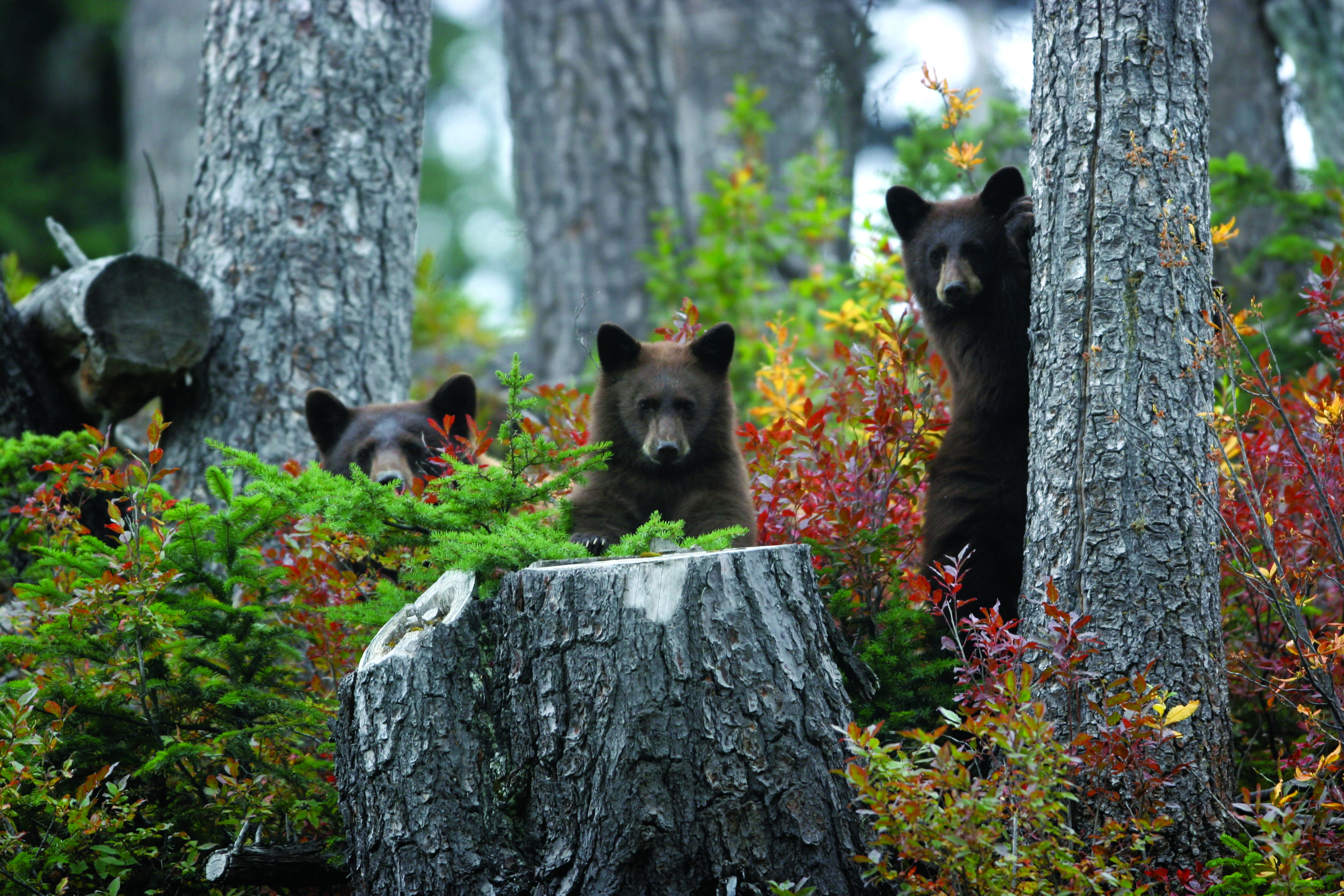 Bear family on the north slope of Whistler Mountain