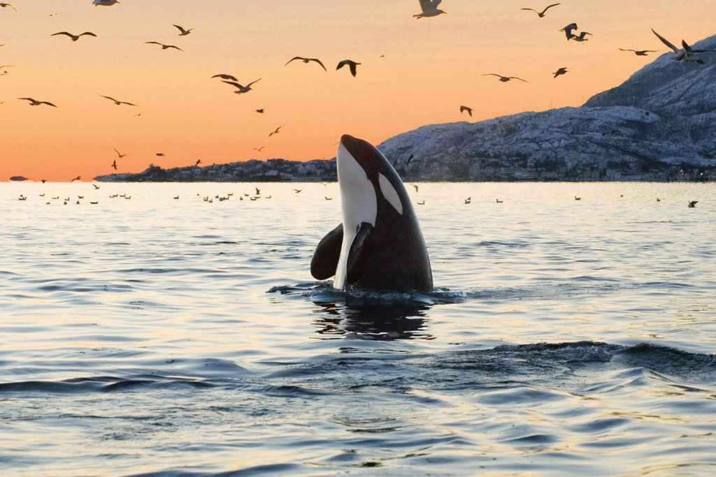 An orca whale breaching off Vancouver Island