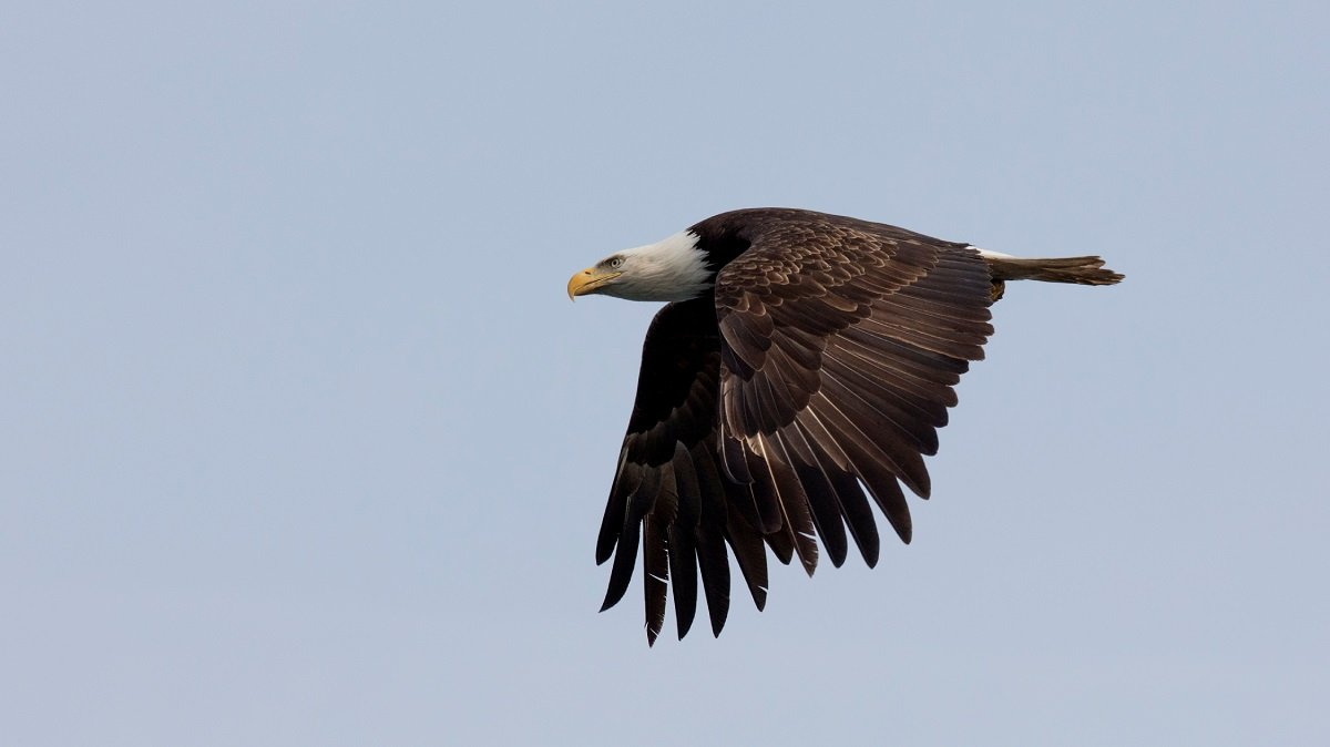Eagle on Vancouver Island