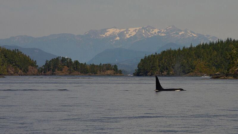 An orca whale's fin pops out of the water.