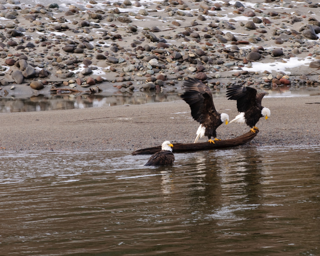 Two eagles are perched on a piece of driftwood on the beach while one eagle cools off in the river.