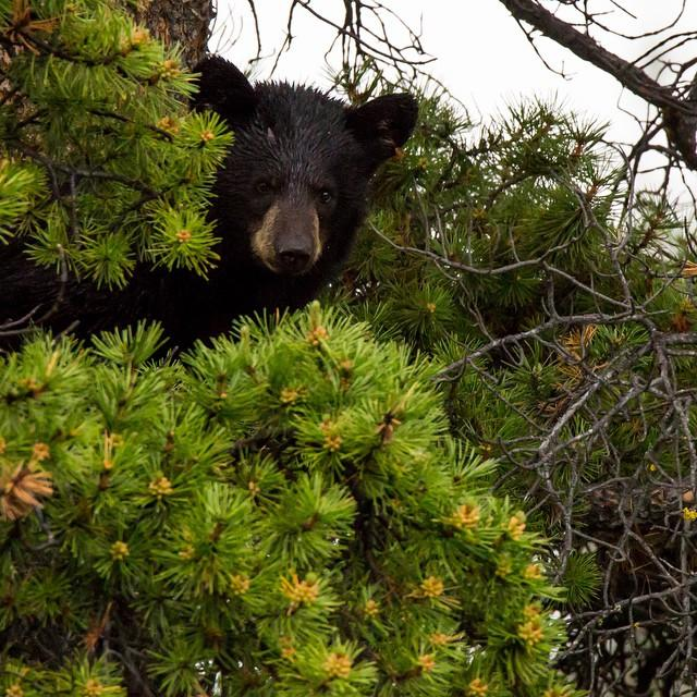 A bear cub sits amongst dense vegetation.