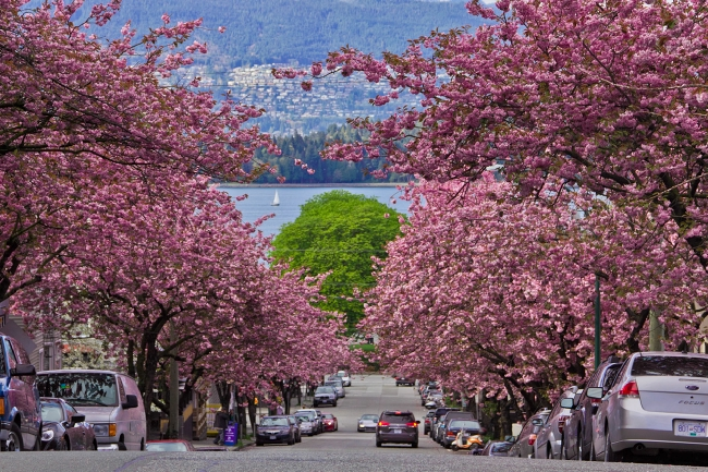 Bright pink cherry blossoms line Vancouver streets.