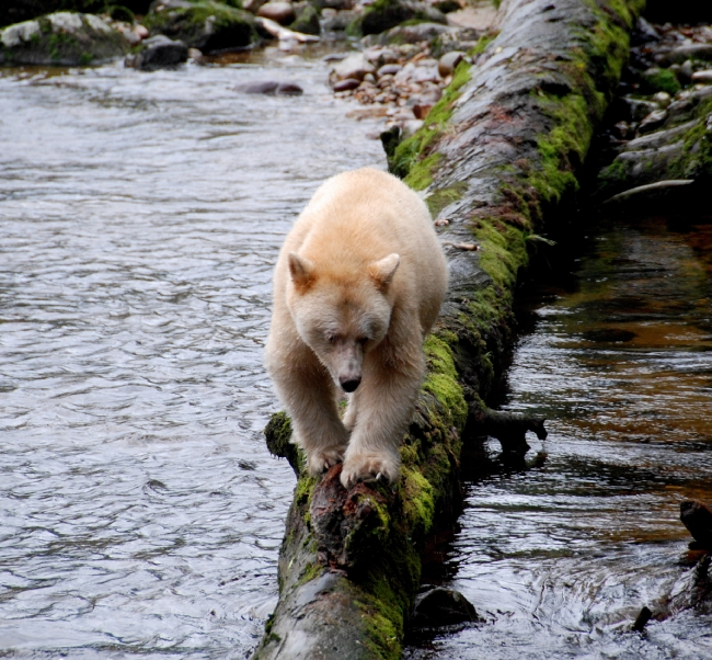 A Spirit bear walks along a fallen, moss-covered log to traverse a river.