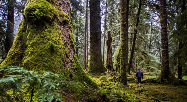 A hiker treks through a moss-covered rainforest.