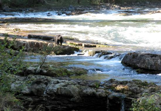 A black bear ambles along a salmon river.