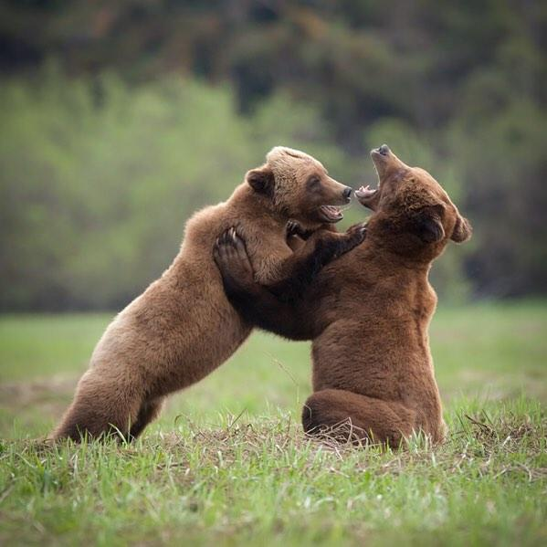Two bear cubs wrestling.