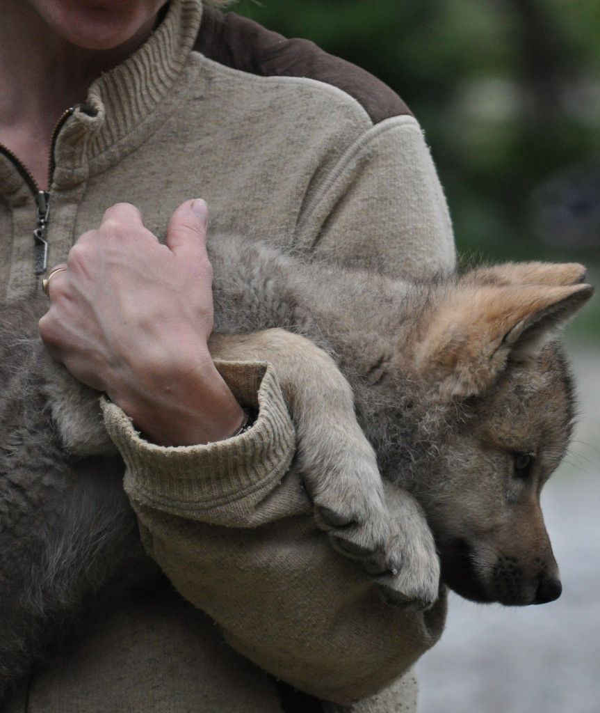 A woman holds a small wolf pup in her arms.