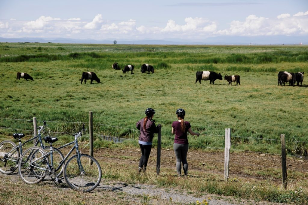 Two cyclists pause to look at cattle grazing.