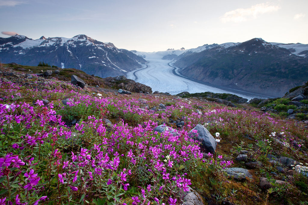 Bright purple flowers bloom in the foreground of the Salmon Glacier, nestled between two snow capped mountains.