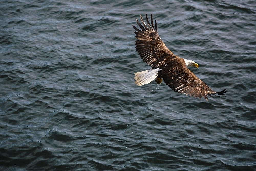 An eagle flying over the ocean.