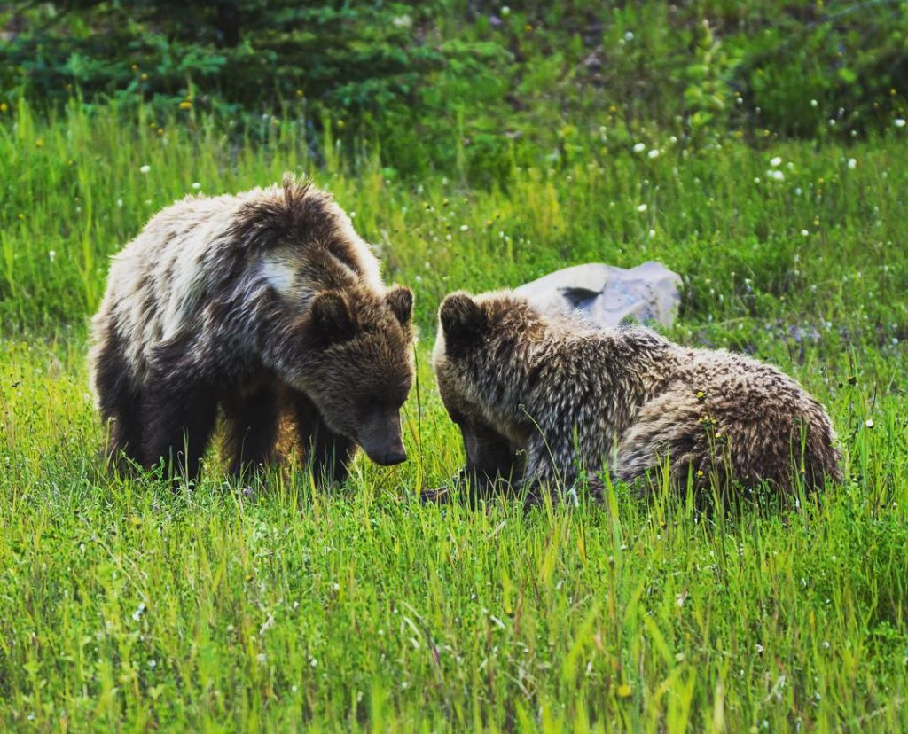 Two grizzlies share a meal in a field of tall green grass.