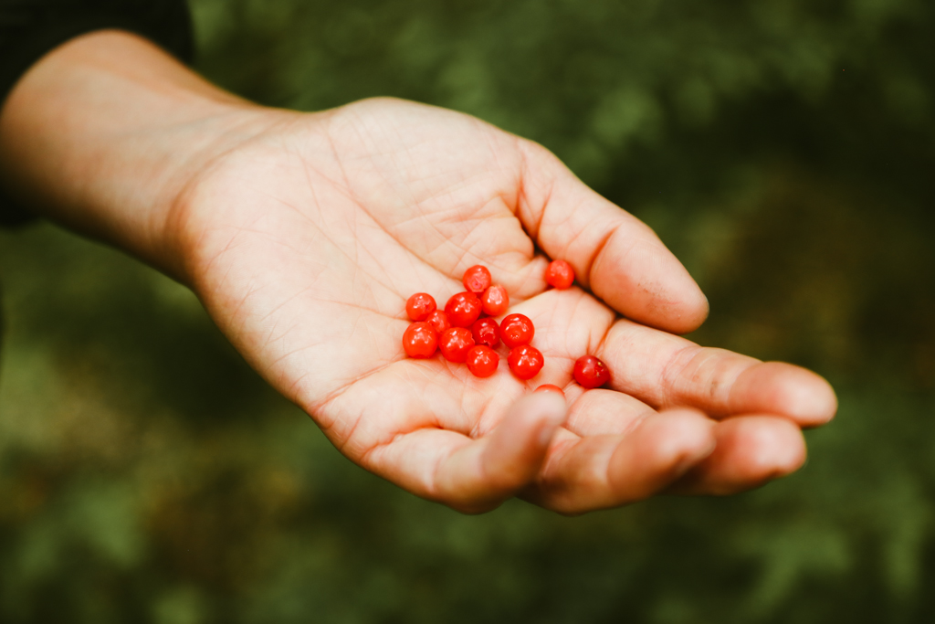 A hand holding a collection of bright red huckleberries.